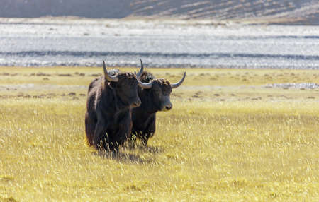 Two wild Asian yak bulls graze in a mountain pasture. Tibetan yaks with large horns are cautiously preparing for defense in the mountain steppe. 스톡 콘텐츠