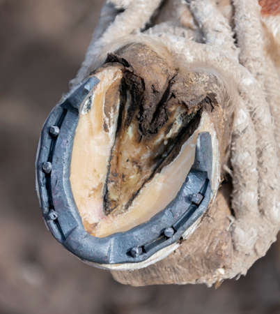 Metal new horseshoe on a cleaned horse's hoof close-up. A fresh iron horseshoe of the Kyrgyz form on the hoof of a stallion. A device for protecting the horse's hooves.