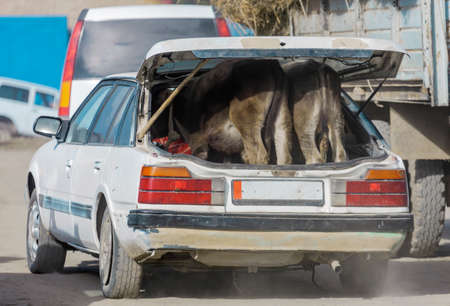 Two calves are standing in the trunk of an old passenger car. A used car transports two baby cows to the Asian cattle market.