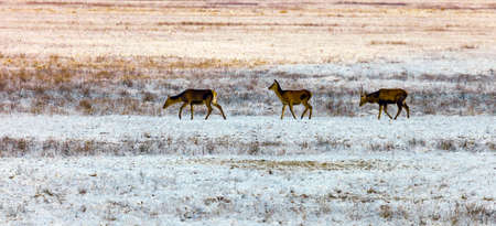 Three red deer came out into the snow-covered field at dusk Three deer go to the feeding ground for evening feeding.