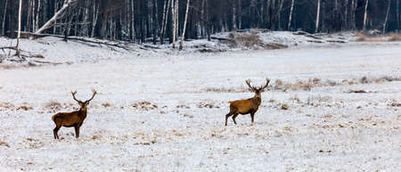Deer stand alertly on a snow-covered field in winter. Two red deer with antlers on the edge of the forest in frosty January.
