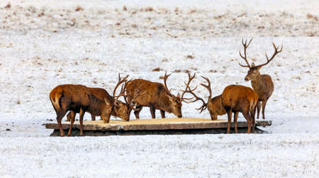 Deer are fed with grain and mixed feed on the feeding ground in winter. Male red deer with horns eat corn in frosty January.