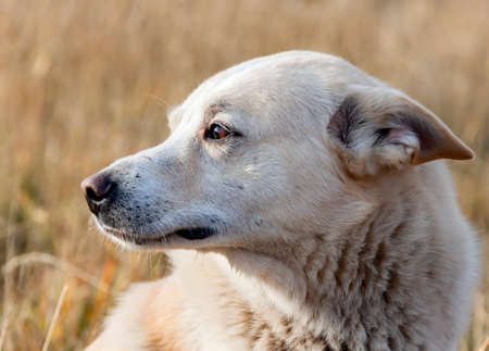Hunting dog laika white color looks to the side with his ears flattened. Portrait of a West Siberian hunting husky during roundup.