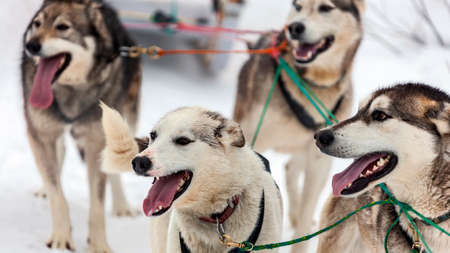 Native sled dogs or huskies in a sled during spring training in the snow. East Siberian sled dogs enjoy active running on fresh snow in a team. 스톡 콘텐츠