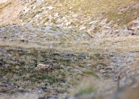 Wild male Asian ibex walks through mountain meadow in autumn. Siberian mountain goat grazes on slope in hard-to-reach gorge.