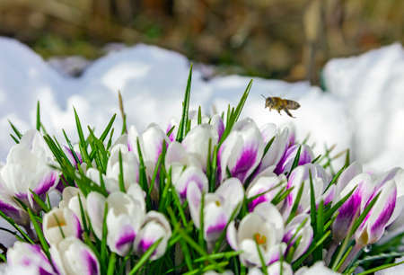 April bee flying to primroses blooming in the snow. Snowdrop flowers bloom in the spring and a flying bee flies over them. 스톡 콘텐츠