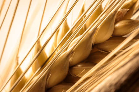 single golden barley ear bristle macro shot, looking onto seeds, use as background or compositing, copy text space, barley is a key ingredient in beer and whisky production