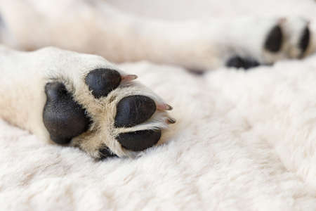 Paws of a young Labrador puppy from below, on a soft, cozy blanket made of fur, the dog is sleeping and taking a break