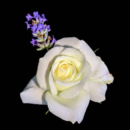 Color portrait of a single rose blossom with lavender on black backgound Stock Photo