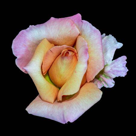 Color portrait of a single rose blossom on black backgound