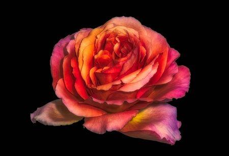 surrealistic orange red violet rose blossom macro,black background Standard-Bild