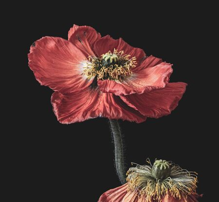 surrealistic pair of fading red silk poppy blossoms,black background in vintage painting style Фото со стока