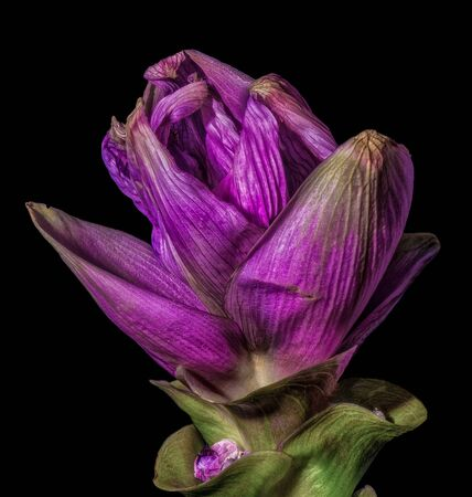 Isolated dark violet green fading curcuma blossom, black background