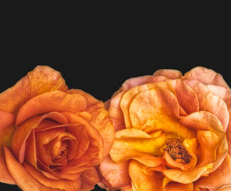 vibrant pair of touching rose blossoms with rain drops in vintage painting style on black background Banque d'images