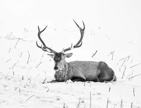 monochrome wildlife winter portrait of a single red deer with large antlers relaxing on a snow field on a sunny day