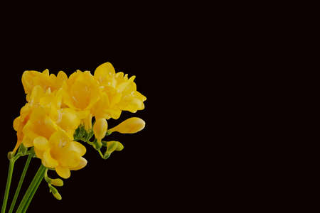 yellow freesia blossoms and buds macro on black background