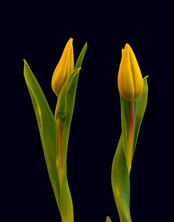 isolated yellow tulip blossom pair minimalistic macro on black background, with stem and green leaves