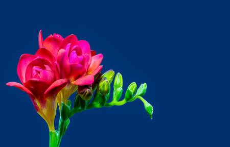 Isolated red flowering freesia, yellow green buds, macro, blue background