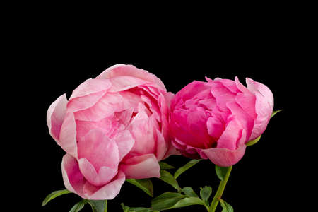 Isolated pink young peony blossom pair macro on black background with stem and green leaves