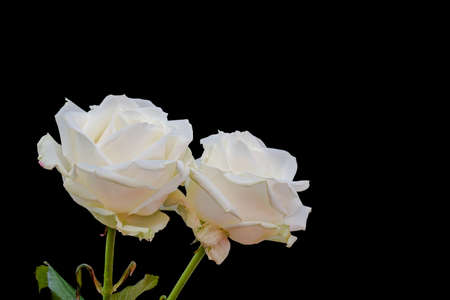 Pair of white rose blossoms macro with stem, green leaves, black background, fine art still life closeup of isolated blooms with detailed texture