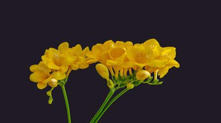 Isolated yellow flowering freesias, buds, green stem, macro, dark gray background Stock Photo
