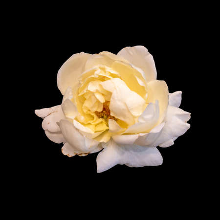 bright monochrome white rose blossom macro isolated on black background in vintage painting style Stock Photo