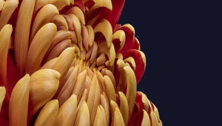 surrealistic yellow red chrysanthemum blossom macro on dark blue background in vintage painting style