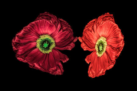 Surrealistic pair of red silk poppy blossoms macro isolated on black background with detailed texture in vintage painting style