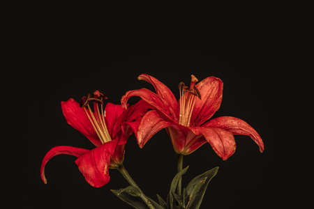 vibrant vintage red lily blossom pair macro, rain drops, painting style, black background, detailed texture