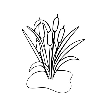 Bulrush illustration in doodle style. Black and white. A plant near the swamp. Spring Summer Concept Illustration