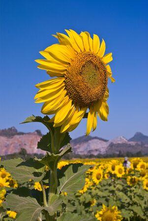 Sunflower, Lopburi, Thailand Stock Photo - 7540928