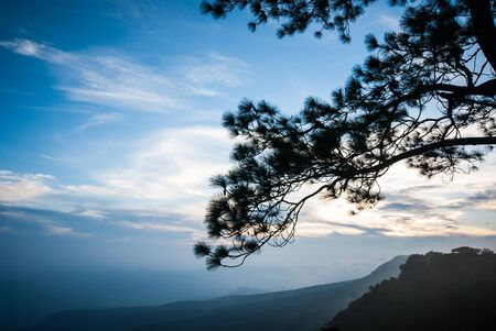 phukradueng: Sunset with blue sky behind the silhouetted branch of pine tree, Phukradueng national park of Loei province, Thailand.