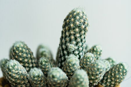 Closed up Escobaria cactus with white thorn texture background. Small beautiful and drought resistant, succulent plant