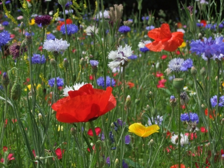 Wild flower meadow with poppies and Cornflowers Stock Photo - 18579491