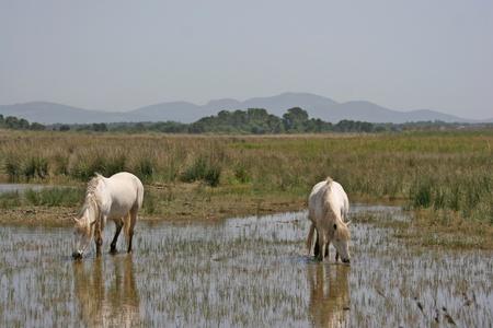 caballo bebe: Camargue caballos pastando en aguas poco profundas en el Parc Natural de s'Albufera de Mallorca