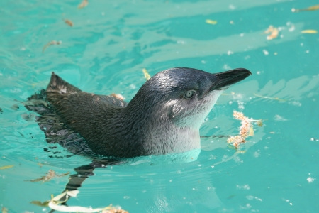 Portrait of swimming Fairy Penguin (Eudyptula minor). The species is also called Little Penguin, Little Blue Penguin, Blue Penguin, or Korora (from Maori language).