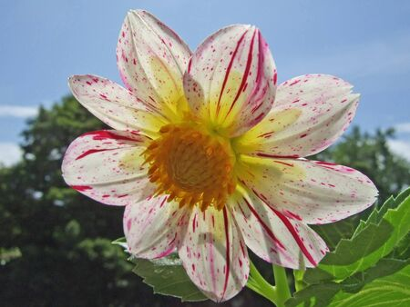 White Dahlia Flower with Red Stripes Backlit by the Sun