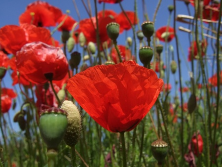 papaver: Field of Red Poppies  Papaver rhoeas