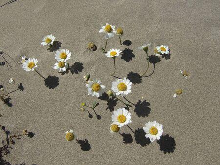 Daisies on beach