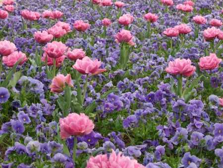 Flower-bed with pink double tulips and blue violas