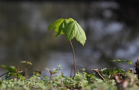 Sapling of Norway Maple  Acer platanoides  photo