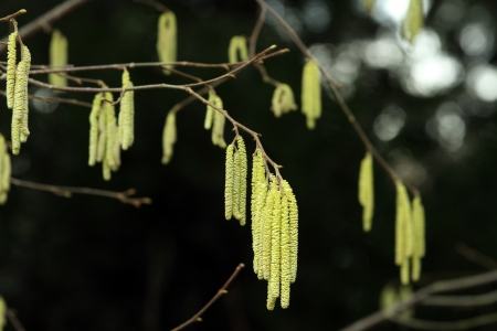Highly allergenic  pollen bearing male flowers of Hazel photo