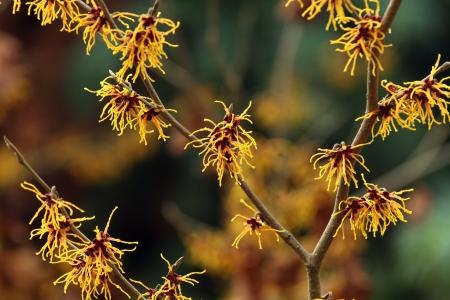 hazel branches: Flowering Witch-hazel in February  Hamamelis