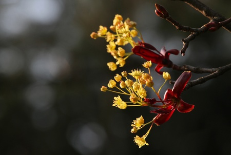 Flowers of Norway Maple  Acer platanoides