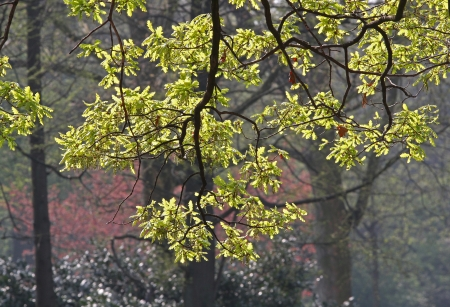 Flowering Oak branches  English Oak, Quercus robur  with catkins  male flowers  and young leaves in spring, backlit by the sun