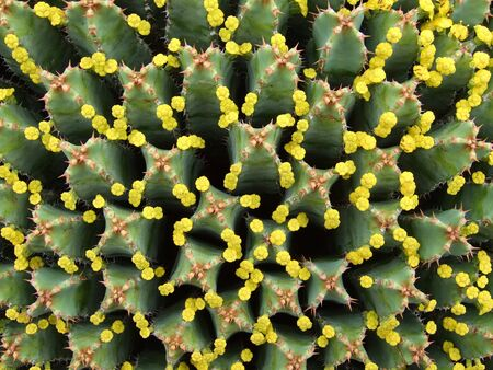 Huge Euphorbia with many tiny yellow blossoms in top view Stock Photo