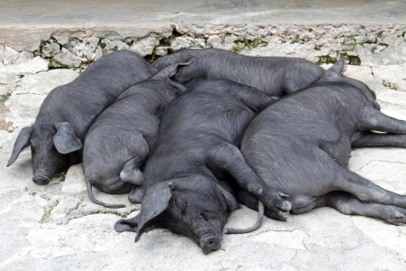 snoozing: Snoozing Bunch of Black Iberian pigs - This spanish breed is famous for its top quality meat
