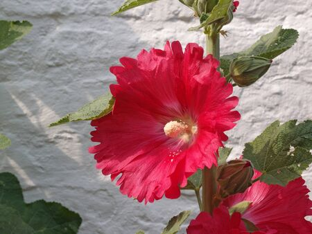 Red Hollyhock flower - Alcea rosea - with white rustic wall background Stock Photo