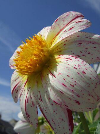 White Dahlia Flower with Red Stripes Stock Photo