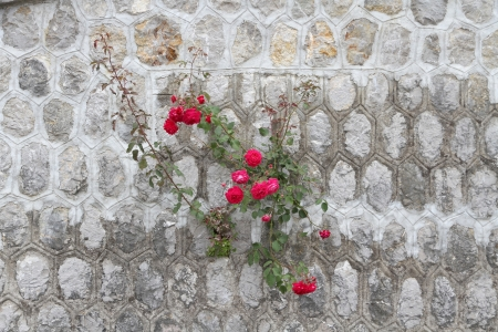 Rose growing out of wall Stock Photo